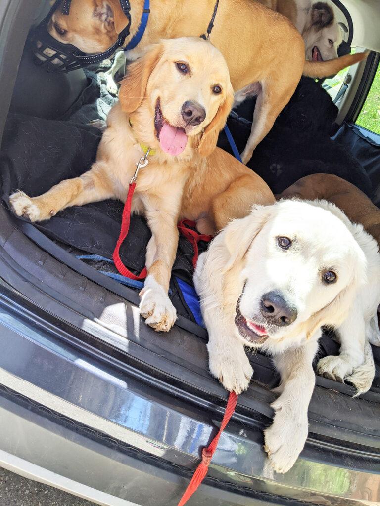 doggo-carpool